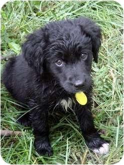 Border Collie/Labrador Retriever Mix Puppy for adoption in Westminster, Colorado - LILY