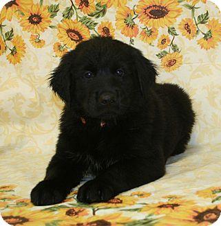 Labrador Retriever Mix Puppy for adoption in Westminster, Colorado - Spruce