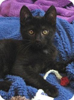 American Curl Kitten for adoption in Davis, California - Bugsy
