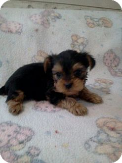 Yorkie, Yorkshire Terrier/Yorkie, Yorkshire Terrier Mix Puppy for adoption in McMinnville, Tennessee - 1 brother 1 sister