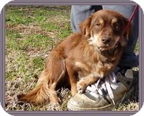 Dachshund/Spaniel (Unknown Type) Mix Dog for adoption in Hagerstown, Maryland - Emma Lou