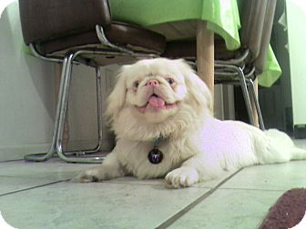 Pekingese Dog for adoption in Hazard, Kentucky - Ghost~Prison obedience trained