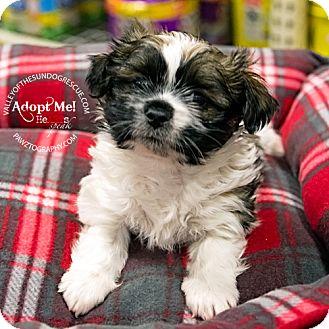Shih Tzu/Dachshund Mix Puppy for adoption in Mesa, Arizona - Boomer