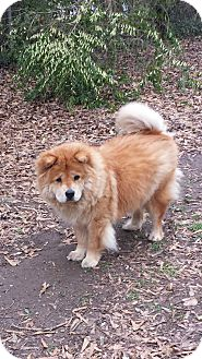 Chow Chow Dog for adoption in Tucker, Georgia - Bella