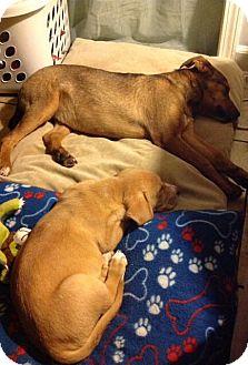 German Shepherd Dog/Labrador Retriever Mix Dog for adoption in Rosemount, Minnesota - Sheri