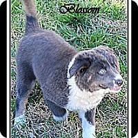 Adopt A Pet :: BLOSSOM - Bryan, TX