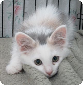Domestic Longhair Kitten for adoption in Pueblo West, Colorado - Ember