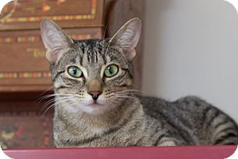 Domestic Shorthair Cat for adoption in Knoxville, Tennessee - Bebe'