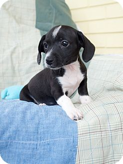 Dachshund/Terrier (Unknown Type, Small) Mix Puppy for adoption in Knoxville, Tennessee - Joey