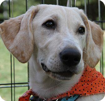 Labrador Retriever/Basset Hound Mix Puppy for adoption in Austin, Texas - Noodle