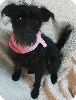 Miniature Schnauzer/Terrier (Unknown Type, Small) Mix Dog for adoption in Foster, Rhode Island - Shiloh