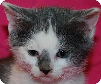 Domestic Shorthair Kitten for adoption in Walworth, New York - Wolowitz