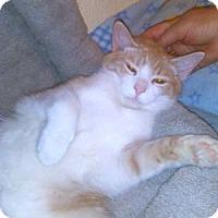 Adopt A Pet :: Paddington - Colorado Springs, CO