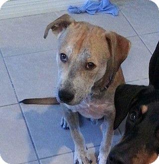 Labrador Retriever/Terrier (Unknown Type, Medium) Mix Dog for adoption in Holmes Beach, Florida - Othello