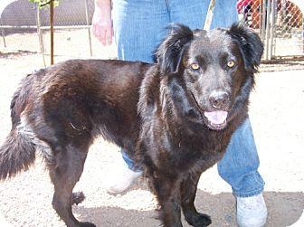 Flat-Coated Retriever Mix Dog for adoption in Phoenix, Arizona - wesnesday