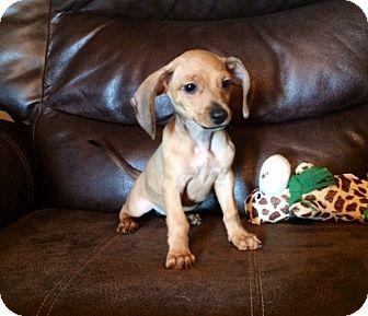 Dachshund/Chihuahua Mix Puppy for adoption in Baton Rouge, Louisiana - Charlotte