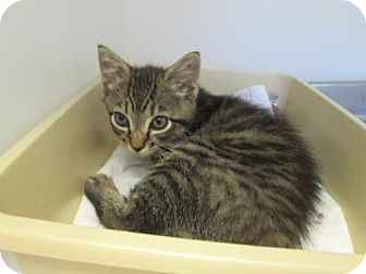 Domestic Shorthair Kitten for adoption in Dahlgren, Virginia - KGAC - 'Ashlee'
