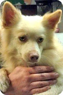 American Eskimo Dog/Golden Retriever Mix Dog for adoption in Downey, California - Acorn