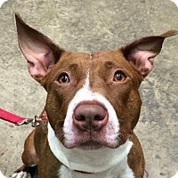 Pit Bull Terrier Mix Dog for adoption in Fairfax, Virginia - Cookie *Adoption Pending*