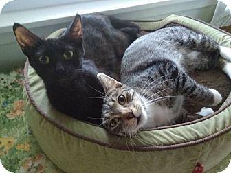Domestic Shorthair Cat for adoption in Wayzata, Minnesota - Fiona