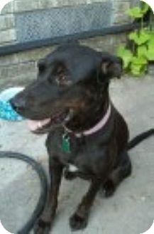 Labrador Retriever Mix Dog for adoption in Houston, Texas - Sally