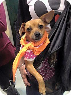 Chihuahua Mix Dog for adoption in ST LOUIS, Missouri - Karlene