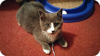 Domestic Shorthair Kitten for adoption in Southington, Connecticut - Ying