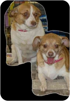 Chihuahua/Corgi Mix Dog for adoption in Stafford, Virginia - Lady and Missy