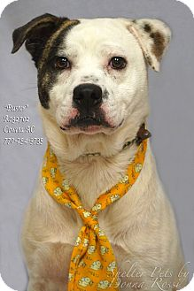American Bulldog Mix Dog for adoption in Newnan City, Georgia - Buster