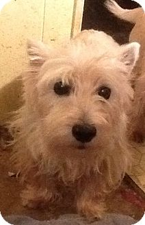 Westie, West Highland White Terrier Dog for adoption in Rye, New Hampshire - Micalah
