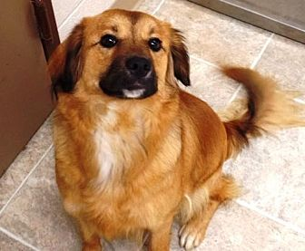 Chow Chow Mix Dog for adoption in Crown Point, Indiana - Sunshine