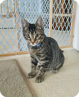Domestic Shorthair Kitten for adoption in Colmar, Pennsylvania - Jack -Adoption Pending!