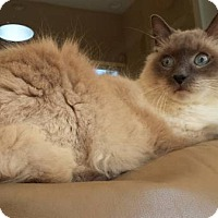 Adopt A Pet :: SIMON (SIAMESE Declawed) - New Smyrna Beach, FL