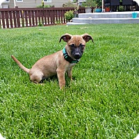 Adopt A Pet :: Cinnamon (FORT COLLINS) - Fort Collins, CO