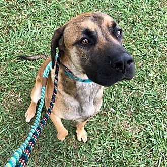 Black Mouth Cur Mix Dog for adoption in West Hartford, Connecticut - Toby