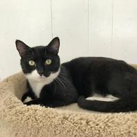 Domestic Shorthair/Domestic Shorthair Mix Cat for adoption in Annapolis, Maryland - RJ