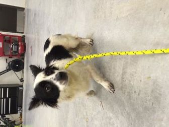 Chihuahua/Border Collie Mix Dog for adoption in San Antonio, Texas - Ruckus