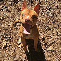 Adopt A Pet :: Bambi - Dallas, GA