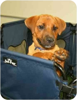 Corgi Mix Puppy for adoption in Wayne, New Jersey - Lark