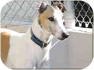 Greyhound Dog for adoption in St Petersburg, Florida - Burrito