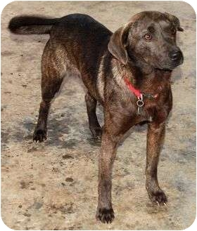 Terrier (Unknown Type, Small)/Plott Hound Mix Dog for adoption in Windham, New Hampshire - Frodo