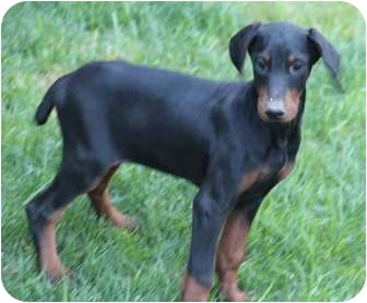 Doberman Pinscher Mix Puppy for adoption in Yuba City, California - Gretta