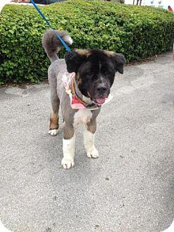 Newfoundland/Akita Mix Dog for adoption in Homestead, Florida - Gentle Ben