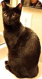Domestic Shorthair Cat for adoption in Morristown, New Jersey - Crow