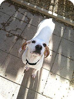 Hound (Unknown Type)/Pointer Mix Dog for adoption in richmond, Virginia - Daisy