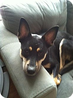 Husky/Shepherd (Unknown Type) Mix Dog for adoption in Youngstown, Ohio - Coco ~ Adoption Pending