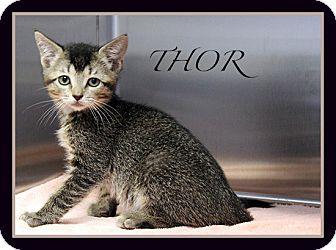 Domestic Shorthair Kitten for adoption in Corpus Christi, Texas - Thor