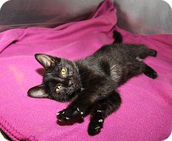 Domestic Shorthair Kitten for adoption in Orland Park, Illinois - Jelly Bean