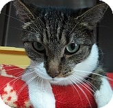 Domestic Shorthair Cat for adoption in Silver City, New Mexico - Lindsey