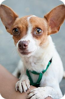Chihuahua Mix Dog for adoption in Portland, Oregon - Oksana